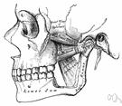 pterygoid muscle - muscle descending from the sphenoid bone to the lower jaw