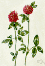 Trifolium pratense - erect to decumbent short-lived perennial having red-purple to pink flowers