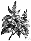 croton - tropical Asiatic shrub