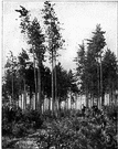 second growth - a second growth of trees covering an area where the original stand was destroyed by fire or cutting