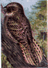 Caprimulgus carolinensis - large whippoorwill-like bird of the southern United States