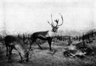 woodland caribou - any of several large caribou living in coniferous forests of southern Canada