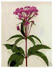 purple boneset - North American herb having whorled leaves and terminal clusters of flowers spotted with purple