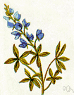 Texas bluebonnet - low-growing annual herb of southwestern United States (Texas) having silky foliage and blue flowers