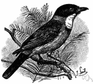 Pachycephala - arboreal insectivorous birds