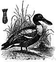 shoveller - freshwater duck of the northern hemisphere having a broad flat bill