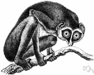 lemur - large-eyed arboreal prosimian having foxy faces and long furry tails