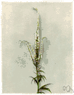 Veronicastrum virginicum - a tall perennial herb having spikes of small white or purple flowers