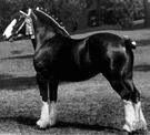 shire horse - British breed of large heavy draft horse