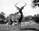red deer - common deer of temperate Europe and Asia
