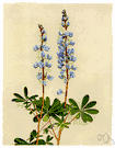 old-maid's bonnet - stout perennial of eastern and central North America having palmate leaves and showy racemose blue flowers