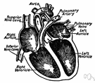 heart ventricle - a chamber of the heart that receives blood from an atrium and pumps it to the arteries