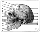 supraorbital torus - a ridge on the frontal bone above the eye socket
