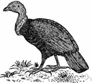 Alectura lathami - black megapode of wooded regions of Australia and New Guinea