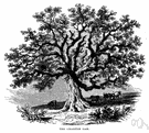 basket oak - medium to large deciduous tree of the eastern United States