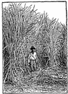 sugar cane - tall tropical southeast Asian grass having stout fibrous jointed stalks