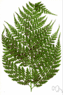 genus Culcita - includes some plants usually placed in e.g. genus Dicksonia: terrestrial ferns resembling bracken
