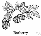 barberry - any of numerous plants of the genus Berberis having prickly stems and yellow flowers followed by small red berries