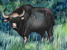 genus Synercus - Cape buffalo