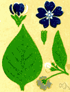 speedwell - any plant of the genus Veronica