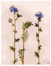 charity - pinnate-leaved European perennial having bright blue or white flowers