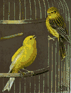 Canary bird - any of several small Old World finches