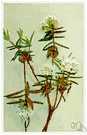 Labrador tea - evergreen shrub of eastern North America having white or creamy bell-shaped flowers and dark green hairy leaves used for tea during American Revolution