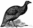 Agriocharis - a genus of birds of the family Meleagrididae including the ocellated turkey
