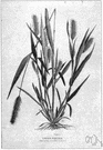 genus Setaria - annual or perennial grasses of warm regions: bristlegrasses