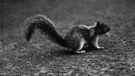 eastern gray squirrel - common medium-large squirrel of eastern North America