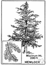 hemlock tree - an evergreen tree
