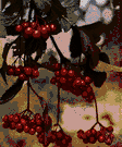 cranberry tree - deciduous thicket-forming Old World shrub with clusters of white flowers and small bright red berries