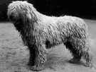 komondor - Hungarian breed of large powerful shaggy-coated white dog