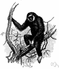 gibbon - smallest and most perfectly anthropoid arboreal ape having long arms and no tail