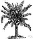genus Metroxylon - a genus of Malayan pinnate-leaved palm trees that flower and fruit once and then die