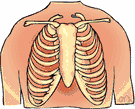 breastbone - the flat bone that articulates with the clavicles and the first seven pairs of ribs