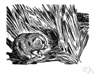 meadow vole - widely distributed in grasslands of northern United States and Canada