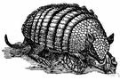 Euphractus sexcinctus - Argentine armadillo with six movable bands and hairy underparts