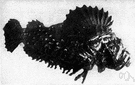 scorpion fish - marine fishes having a tapering body with an armored head and venomous spines