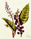 pokeweed - perennial of the genus Phytolacca