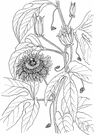 passionflower - any of various chiefly tropical American vines some bearing edible fruit