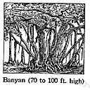 banyan tree - East Indian tree that puts out aerial shoots that grow down into the soil forming additional trunks