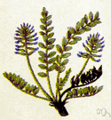 astragalus - large genus of annual or perennial herbs or shrubs of north temperate regions