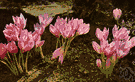 genus Colchicum - chiefly fall-blooming perennial cormous herbs