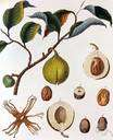 Martyniaceae - in most classifications not considered a separate family but included in the Pedaliaceae
