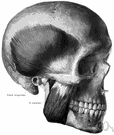 masseter - a large muscle that raises the lower jaw and is used in chewing
