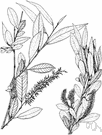 peachleaf willow - willow of the western United States with leaves like those of peach or almond trees