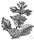 white horehound - European aromatic herb with hairy leaves and numerous white flowers in axillary cymes