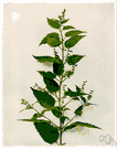 Scutellaria lateriflora - an American mint that yields a resinous exudate used especially formerly as an antispasmodic