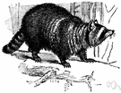 common raccoon - North American raccoon